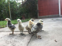 Chicks/chickens for sale - healthy & vibrant £7 each