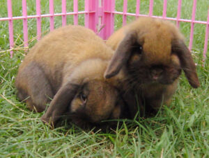 Bonded Pair of Holland Lop Does