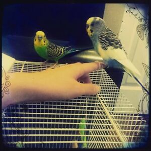 2 male budgies need a new home