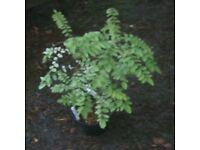 JAPANESE PAGODA TREE GARDEN/PATIO PLANT