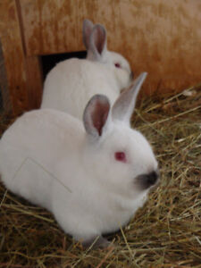 Rabbits- Californian babies from registered buck/doe