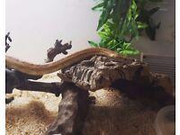 Corn Snake & Vivarium with heat mat, hides and UV light