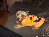 Yorkie Girl for rehome