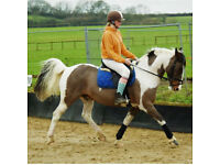 14.2, 10 year old gelding for sale