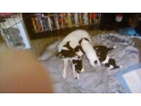 For sale 4 lovely small jackrussel puppies 200