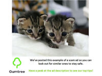 Tabby kittens -- Read the ad description before replying to the ad!!!