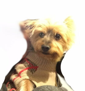 Yorkshire Terrier Needs A New Home