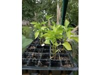 Small bell pepper plants