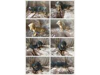 Kc miniature dachshund pups