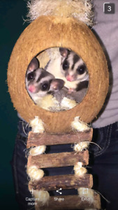 WANTED * twin sister sugar gliders, classic
