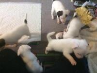 Parson puppies
