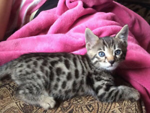 2 baby bengals available mid August 1 silver boy 1 brown girl