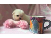 Pure Maltese fun fluffy girl puppy small dog white