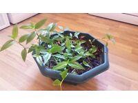 Wandering Jew House Plant (Tradescantia fluminensis) | Spiderwort Indoor Inchplant | Leeds