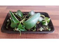 Mother of Thousands Pot Indoor Succulent House Plant | Bryophyllum Daigremontianum | Leeds | VGC