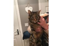Bengal cross cat free to very good home