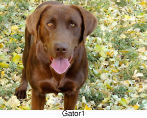 Labrador Retriever Black and Yellow litter Field lines-Deposits