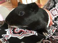 2 guinea pigs + hutch