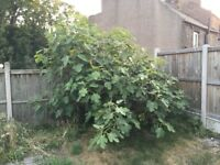Fig Tree - Free to pick up