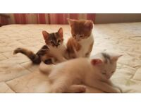 3 Beautiful Turkish Angora kittens