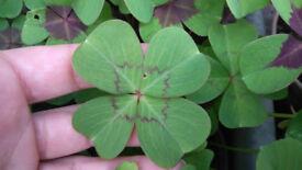 clover lucky plant (oxalis deppei )