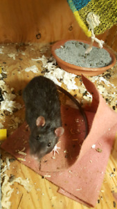 5 month old male rat to a good home