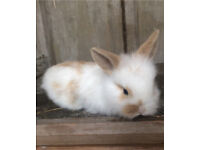 Adorable lionhead babies for sale!!!!!