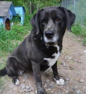 "Adult Female Dog - Labrador Retriever-Mastiff: ""Lola"""