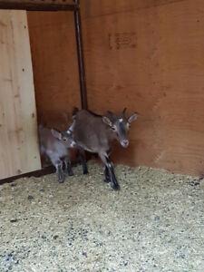 Dwarf Nigerian and pygmy cross female goats for sale