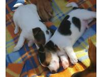 minture tri Jack Russell puppys