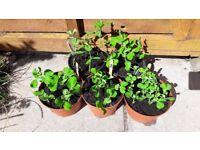 5 large pots of Peas (Meteor) veg plants