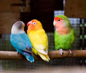 ❤♥☆♥ Fischer Lovebird ♥ Babies with Cage and Food ♥☆♥❤
