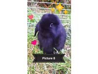 Minilop Bunny (beauiful black)