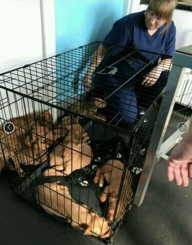 Rotty x mastiff puppys