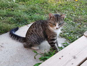 Grey Tabby Male - about 1 year old - Governor Simcoe area