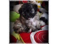 Chihuahua x bichonfrise frise puppy