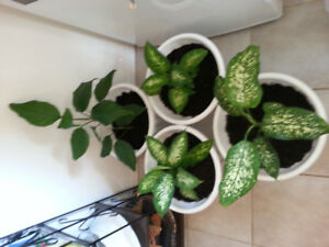 GIFT OF LIFE AND JOY HEALTHY HOUSE PLANTS FOR SALE