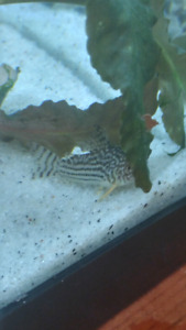 Corydoras sterbai for sale