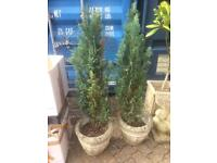 Two Fir Trees in Stone Planters (price each)