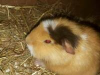 1 guinea pig boy