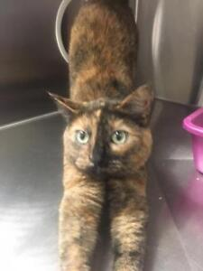"Adult Female Cat - Domestic Short Hair: ""Hailey"""