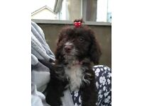 Female cavapoo pup for sale