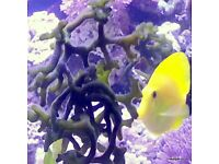 Codium Algae.Macro Algae for the Marine Tank, Seahorse & Reef Tank. Beautiful as Coral Frags !