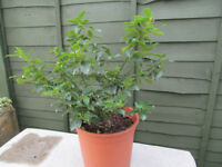 Holly Garden Plant with Pot