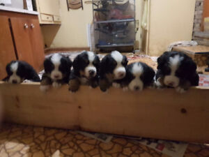 Adorable cuddly Bernese Mountain Dog puppies