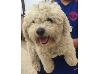 Female poodle lovely nature