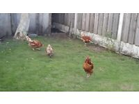 FREE RANGE CHICKENS FOR SALE