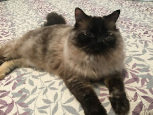 Ragdoll Simese cross needs forever home.