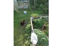 Rhode island red cockerel