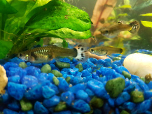 Fancy guppy fry for sale 1$-1.50$